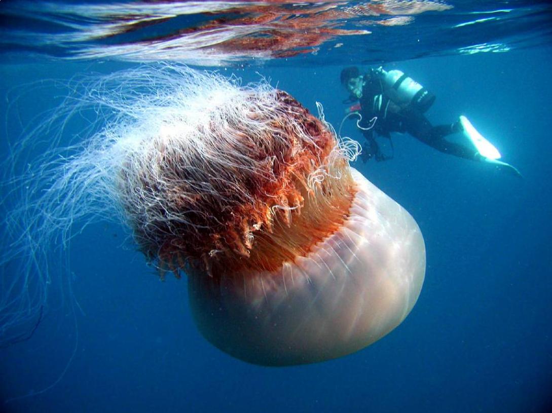 медуза фото животного